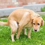 Bolezni prostate pri psu